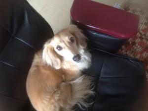 愛犬シュナ
