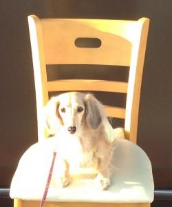 椅子の上のシュナ